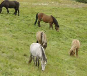 Islandpferde in Mosfellsbaer